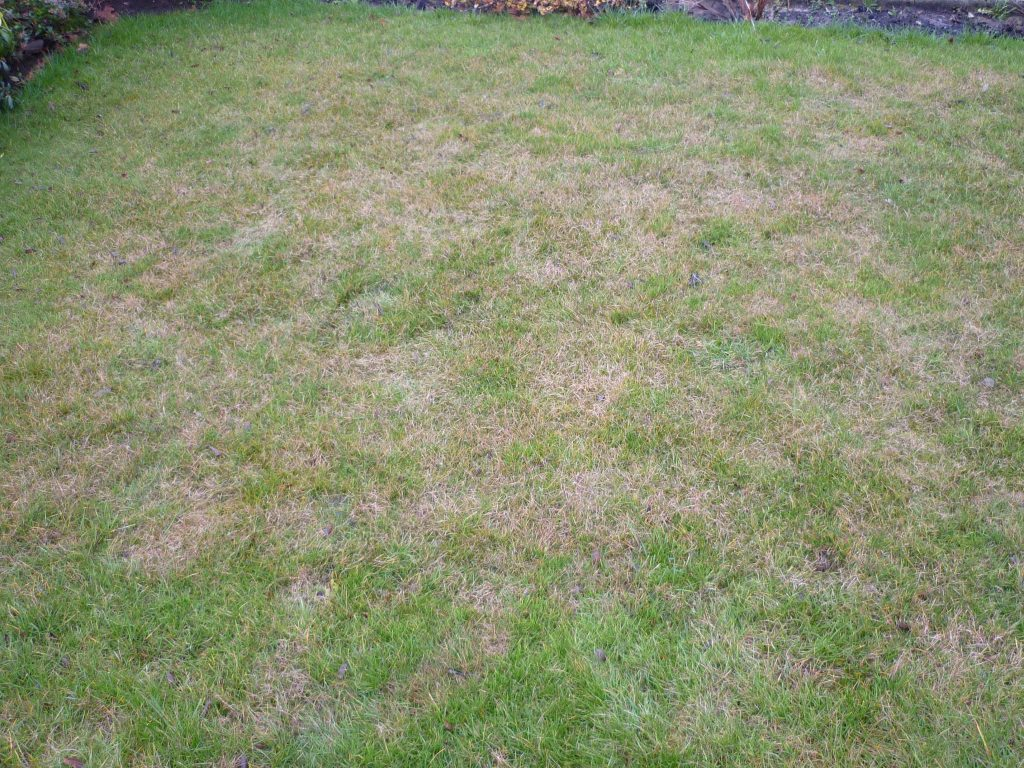 Red thread on a turfed lawn