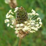 Ribwort Plantain Flowers