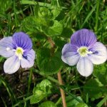 Slender speedwell flowers
