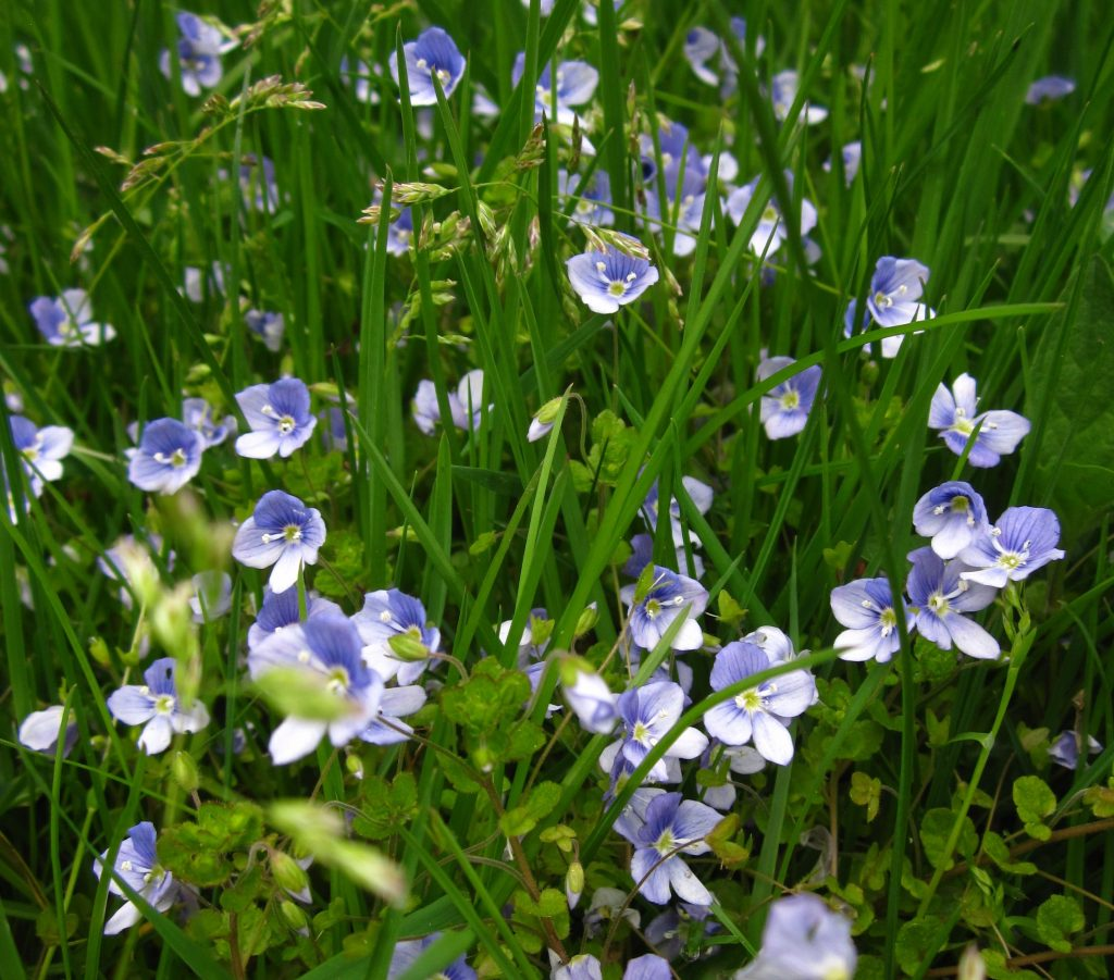 Slender speedwell (veronica filiformis) in a lawn