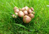 A cluster of small mushrooms growing on a lawn