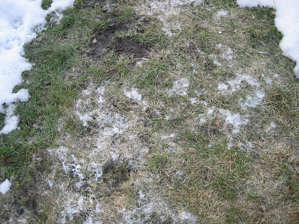 Snow mould under melting snow