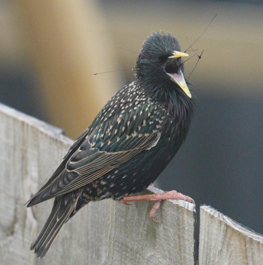 A starling caught plastic turf netting
