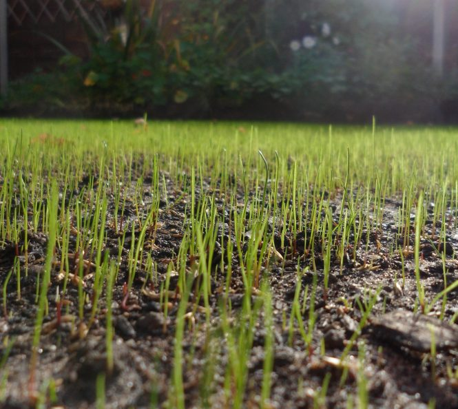 New grass growing on a town house lawn