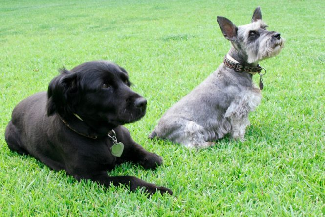Two dogs on a lawn