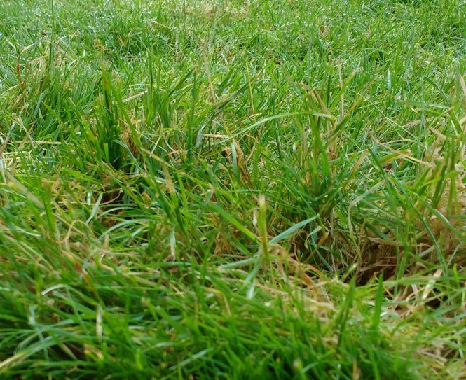 A lawn in winter that would benefit from mowing