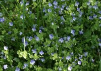 Veronica filiformis in a lawn