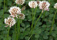 White Clover Plant