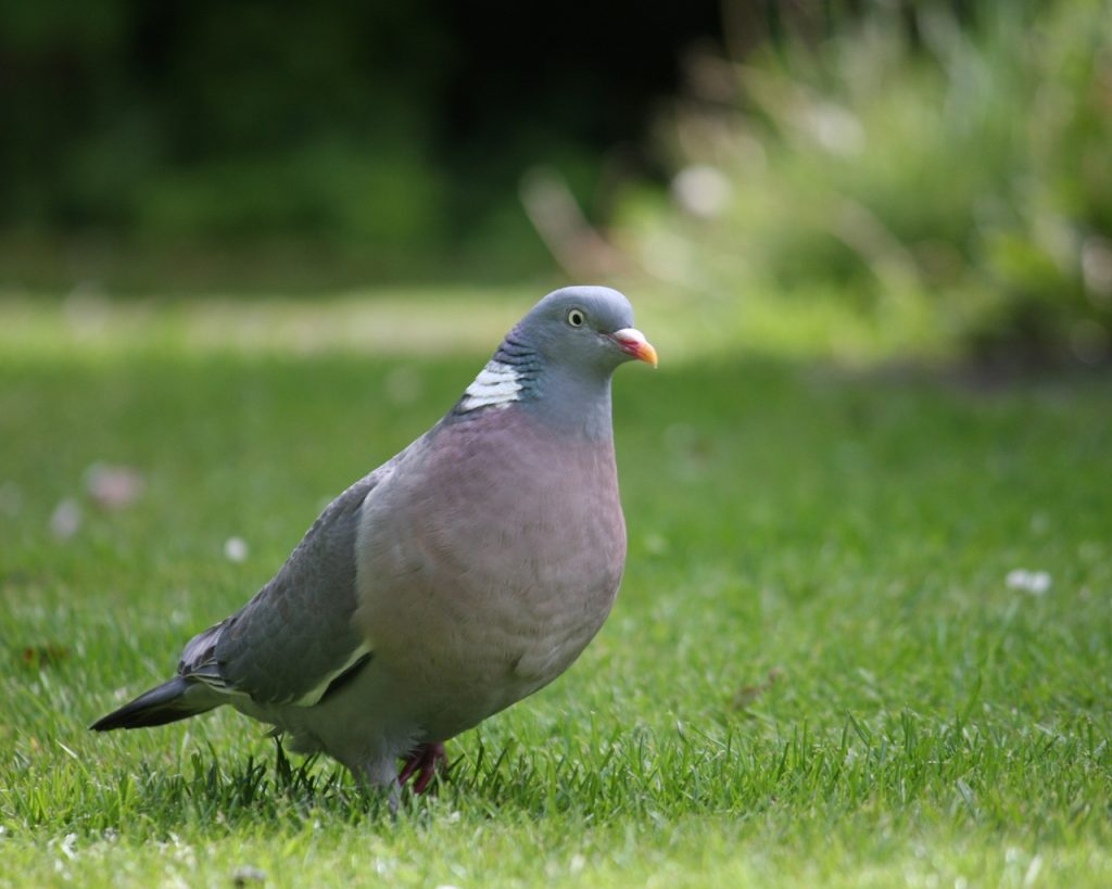 Wood Pigeon on a grass lawn