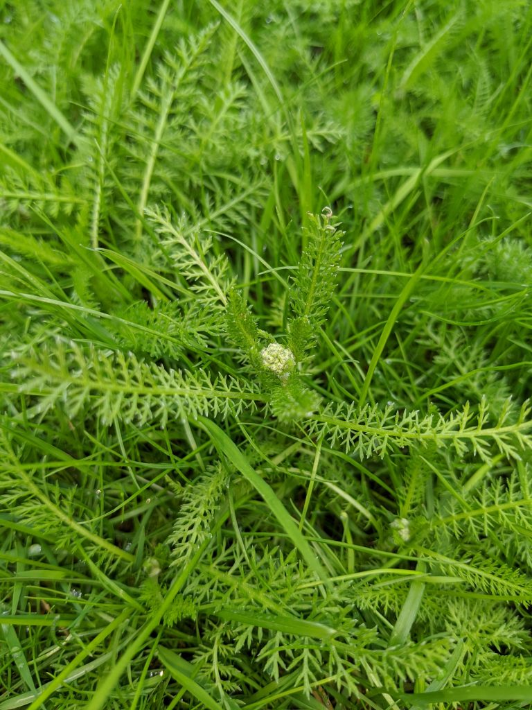 The weed yarrow in a lawn