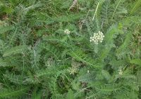 Yarrow in a lawn