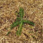 Yarrow on a dry lawn