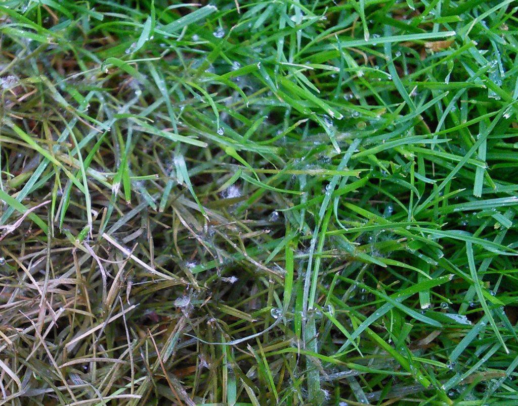 Fusarium patch (microdochium nivale) on grass close up