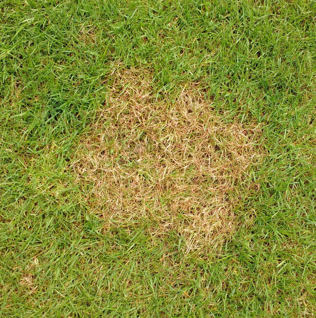 A circular patch of red thread (laetisaria fuciformis) fungus on a lawn