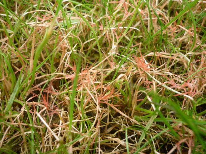 Red thread fungus infecting grass