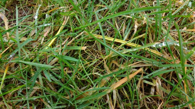 grass leaves turning yellow in the winter